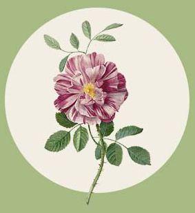 flora-rosa3